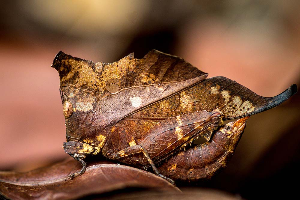 Dead leaf or almost: A dead leaf grasshopper in Nován Stráž, Slovakia. Guilhem Duvot