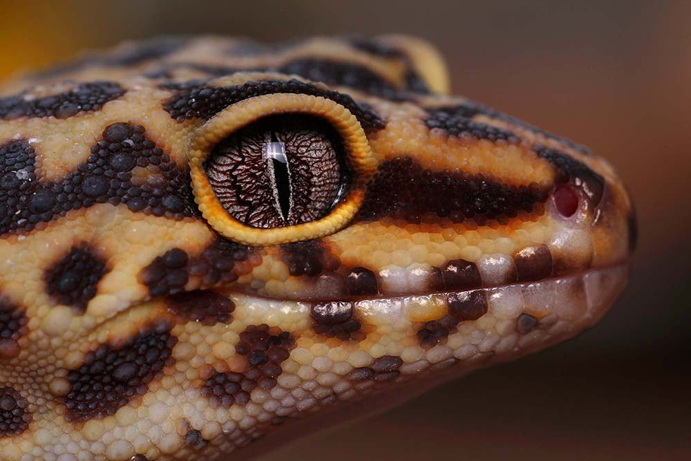 Leopard Gecko by 17-year-old Jack Olive, winner of the young photographer award