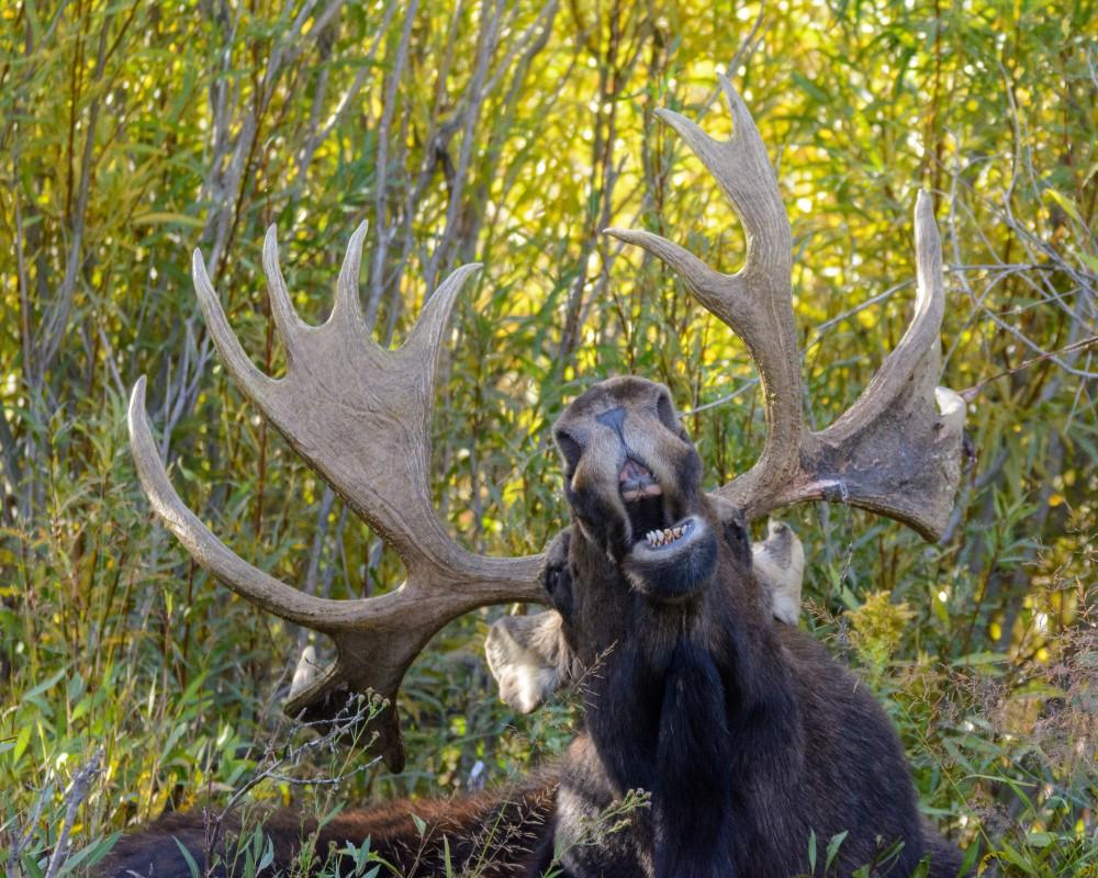 Image: Mary Hone 'The singing moose'