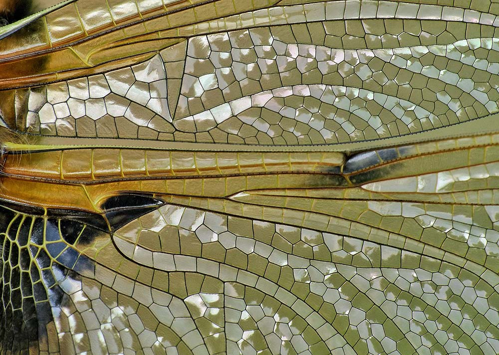 """Dragonfly wings are incredibly intricate and when viewed close up"" A four-spotted Chaser wing by Sean Clayton"