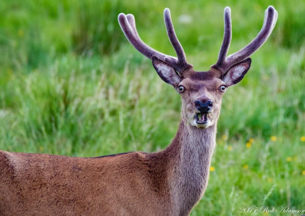 image: Robert Adamson Majestic Stag