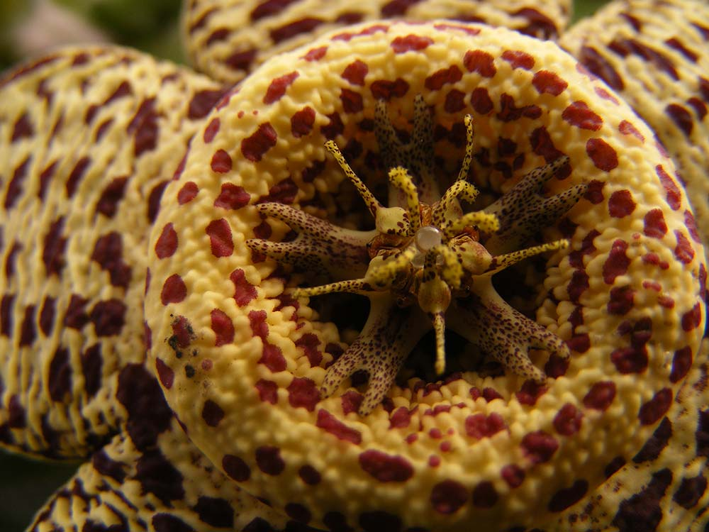 Runner up: Spots of the Orbea variegata flower taken by Milo Hyde aged 10 in Surrey