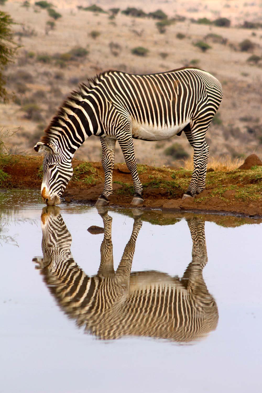 A zebra having a drink at a waterhole in Lewa Reserve, Kenya taken by 17-year-old Imogen Smith